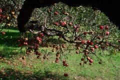 kertem-almafája